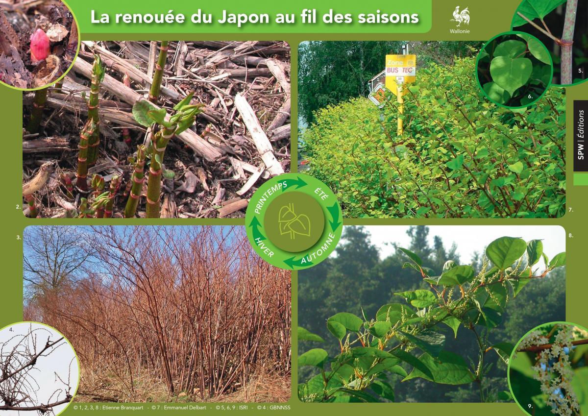 Illustration des renouées du japon au fil des saisons