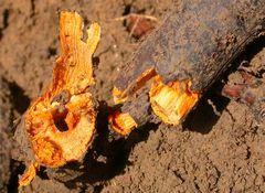 Photo d'une rhizome de renouée du Japon